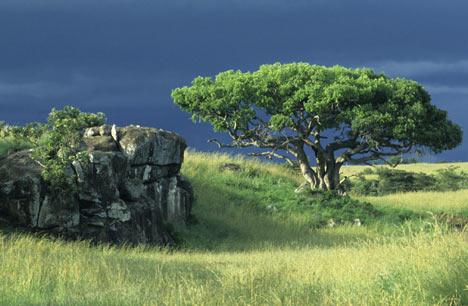 Pohon Beringin Rumput Liar Eko Probo D Warpani
